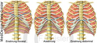 Physiologie Atmung, Ventilation Einatmung Ausatmung Brustkob und Lunge