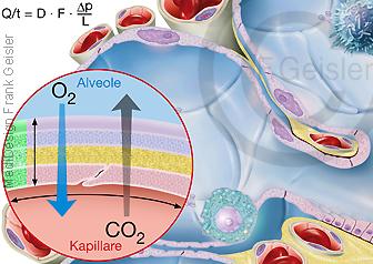 Physiologie Atmung, Diffusion Gasaustausch in Alveolen, Ficksches Gesetz