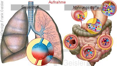 Physiologie Energie Stoffwechsel des Menschen, Aufnahme Sauerstoff Nahrung Nahrungsstoffe