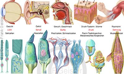Physiologie Erregungsbildung, Sinnesorgane mit Sinneszellen