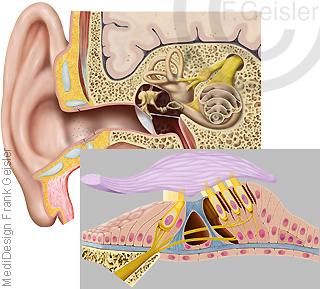Physiologie Gehör Hörsinn, Innenohr mit Cortisches Organ Nerven