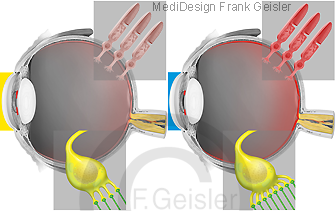 Physiologie Sehen Gesichtssinn, Hell-Dunkel-Adaptation des Auges durch Zapfen und Stäbchen