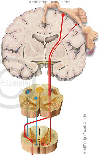 Physiologie Motorik, motorisches System motorischer Cortex des Menschen