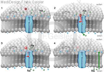 Physiologie Natriumkanal Ionenkanal Proteine Zellmembran