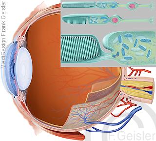 Physiologie Sehen Gesicht Gesichtsinn Auge mit Sinnneszellen