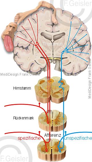 Physiologie Sensorik sensorisches System sensorischer Kortex