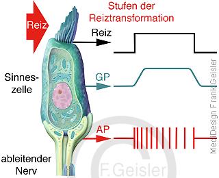Physiologie Erregung Erregungsbildung Sinneszellen, Stufen Reiz Reiztranzformation