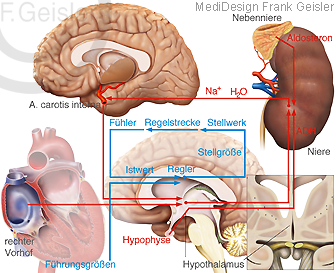 Physiologie Systemregelung Regelkreis Inneres Milieu des Menschen