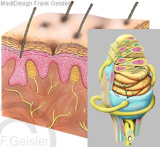 Physiologie Tastsinn Haut mit Tastkörperchen Nerven