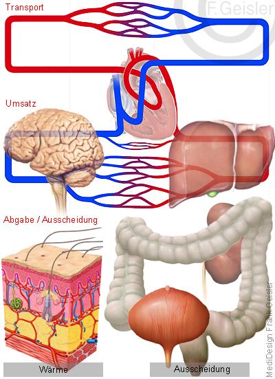 Physiologie Transport Kreislauf Stoffwechsel Organe Wärme und Ausscheidung des Menschen