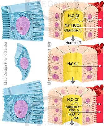 Physiologie Zellen der Henle-Schleife, Funktion Niere Nierenfunktion