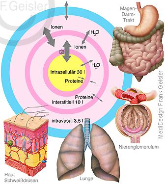 Physiologie inneres Milieu Homöostase Organe des Menschen mit Ionen Proteine