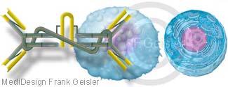 Immunsystem Darm, Plasmazelle mit Immunglobin IgA der Darmschleimhaut