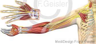 Anatomie Plexus brachialis, Armplexus mit Nerven Arm