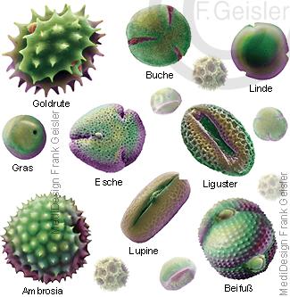 Blütenstaub Pollen, Auslöser Allergie Pollenallergie beim Menschen