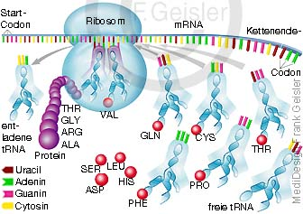 Physiologie Protein Proteinbiosynthese Translation in Zelle