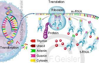 Protein Proteinbiosynthese, Transkription synthetisiert m-RNA, Transkription und Translation