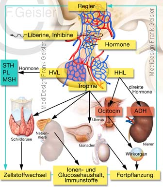 Regelkreis Hormone Hypothalamus Hypophyse