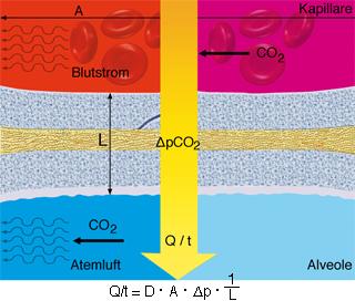 Physiologie Regulation Gleichgewichtsregulation im Körper, Gasaustausch in der Lunge
