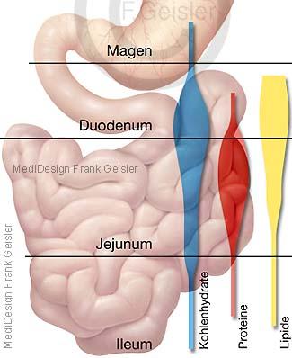 Physiologie Verdauung im Magen-Darm-Trakt, Resorption im Dünndarm