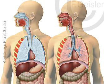 Respirationstrakt respiratorisches System Atemtrakt Luftwege des Menschen