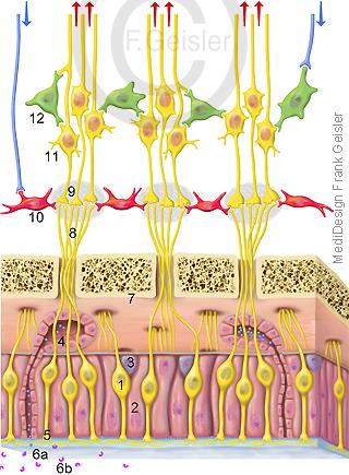 Riechen Riechschleimhaut und Riechepithel Epithelium olfactorium mit Riechzellen