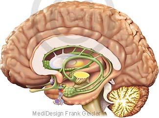 Riechorgan für Geruchssinn Riechen, Riechkolben Gehirn mit Limbisches System