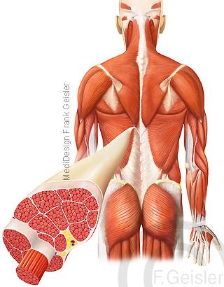 Anatomie Rücken Faszien Rückenfaszien mit Muskeln Rueckenmuskulatur