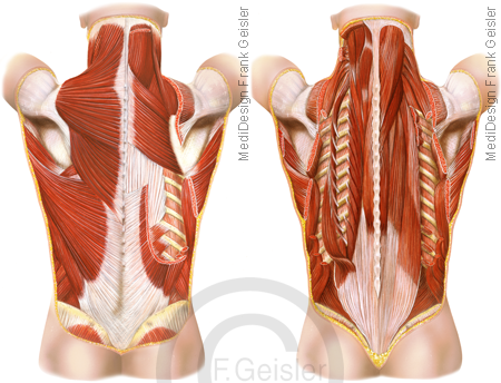 Anatomie Rücken mit oberflächliche tiefe Muskeln Muskulatur Rückenmuskulatur
