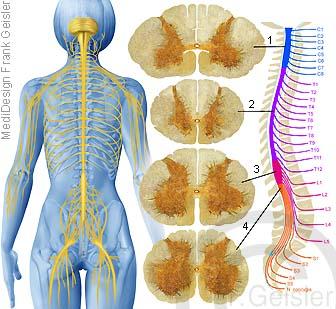 Rückenmark Medulla spinalis mit Nerven
