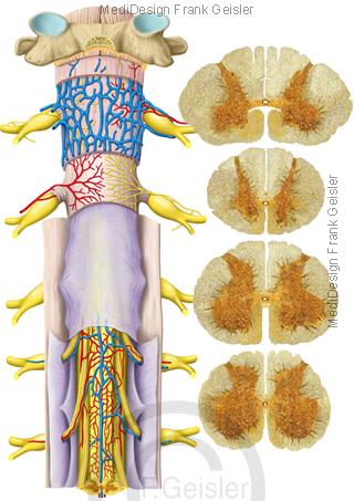 Anatomie Histologie Rückenmark Medulla spinalis, Querschnitt Rückenmark Rückenmarksquerschnitt