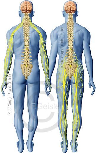 ZNS Nervensystem des Menschen, Rückenmark mit Nervenbahnen Nerven