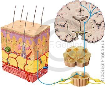 Anatomie Nervensystem, Rückenmark mit Spinalnerven Nervus spinalis