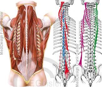 Anatomie Rückenmuskulatur, tiefe Rückenmuskeln mit Wirbelsäule