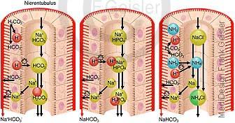 Physiologie Säure-Basen-Haushalt Stoffwechsel durch Nieren