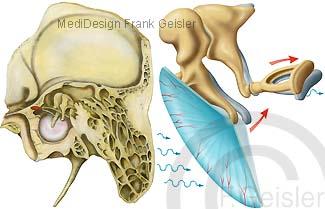 Anatomie Mittelohr, Schläfenbein mit Hörorgan, Trommelfell mit Gehörknöchelchen