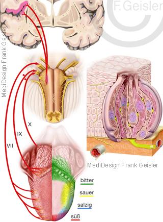 Physiologie Geschmack Geschmackssinn des menschen durch Zunge mit Geschmacksknospen, Geschmacksknospen mit Zellen zum Schmecken
