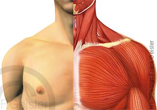 Schulter Schultergürtel, Schultergelenk mit Muskeln Brust