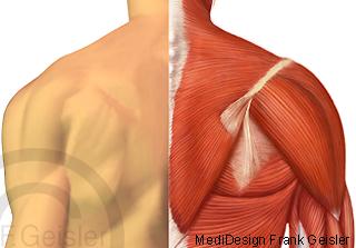 Anatomie Schulter Schultergürtel mit Schultergelenk und Muskeln Muskulatur