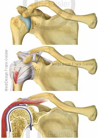 Anatomie Gelenk Schulter, Schultergelenk Articulatio humeri