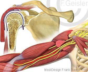 Anatomie Schulter Schultergelenk mit Muskeln Oberarm Oberarmmuskulatur