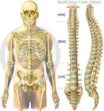 Anatomie Skelett Skelettknochen Knochen Knochengerüst des Menschen mit Wirbelsäule