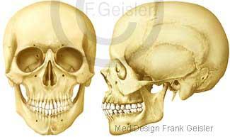Anatomie Skelett Kopf, Knochen Schädel Schädelknochen