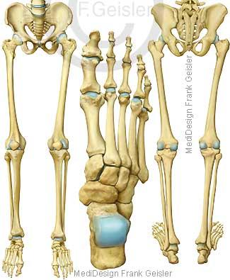 Anatomie Skelett, Knochen untere Gliedmaßen Extremitäten Bein Fuß des Menschen