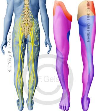 Spinalnerven, Haut Hautfelder auf Bein