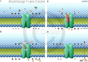 Erregungsübertragung Synapse, Übertragung Ionen durch Natriumkanal Ionenkanal der Zellmembran