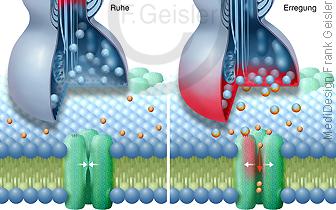 Physiologie Synapse in Ruhe und Erregung, Synapse auf Zellmembran mit Natriumkanal