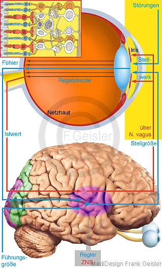 Physiologie Systemregulation Regelkreis Regelstrecke Auge Iris ZNS
