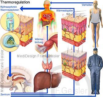 Thermoregulation Wärmeregulation Temperaturregulation Körpertemperaturregulation Körper des Menschen