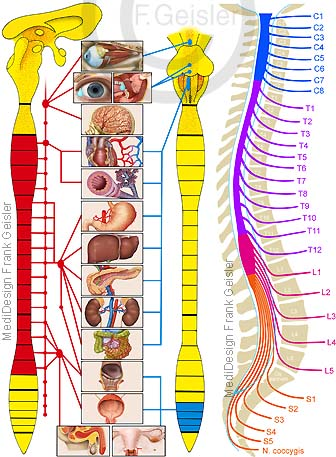 Vegetatives Nervensystem VNS des Menschen mit Rückenmark